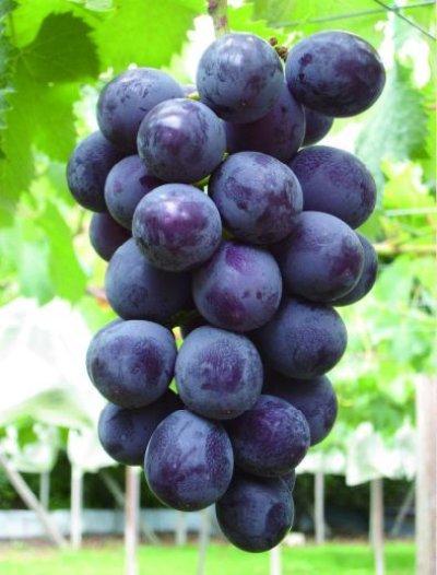 画像2: 【白ワイン】 巨峰葡萄酒 スウィート 11% 360ml